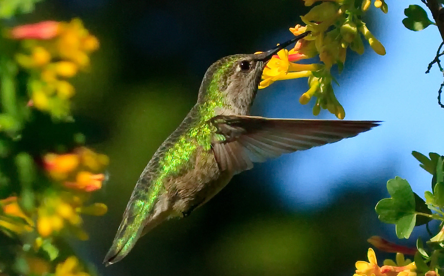 Collection performing daily wondrous hummingbirds by techgnotic on little hummer 7 by mac wiz biocorpaavc Gallery