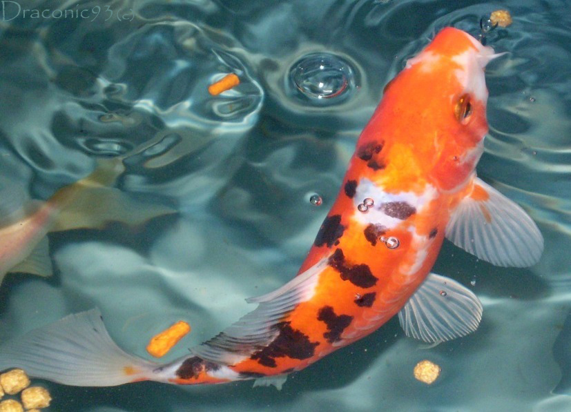 Collection nature 39 s show fish by techgnotic on deviantart for Goldfisch und koi